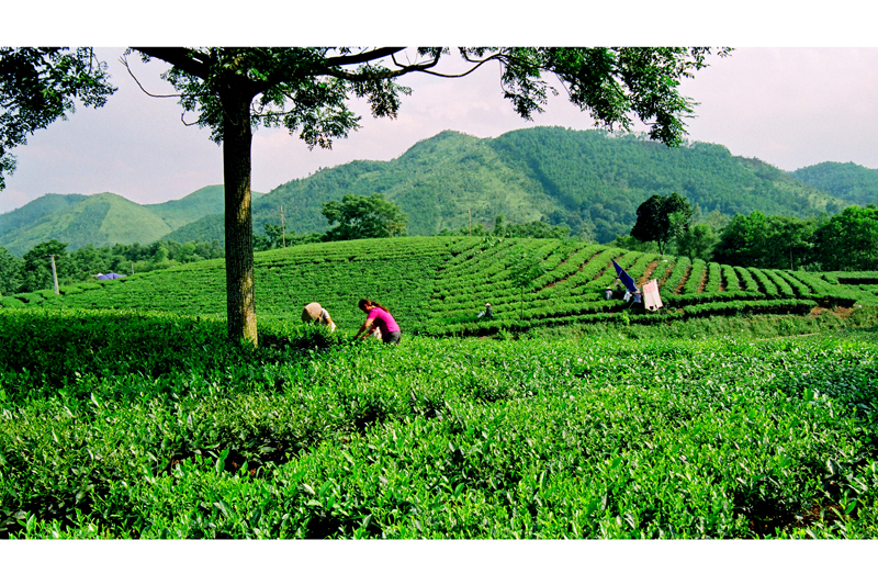 MOTORBIKE TOUR TO THAI NGUYEN TEA PLANTATION